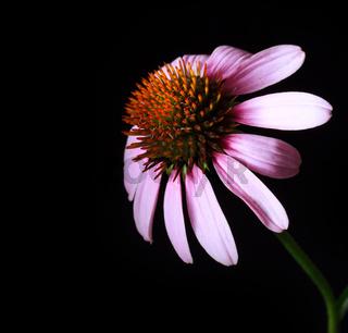 Echinacea Blossom Close-up