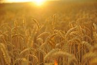 Weizenfeld bei Sonnenuntergang quer