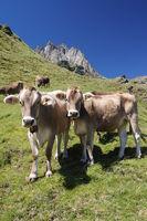 Kühe auf der Alp im Engadin