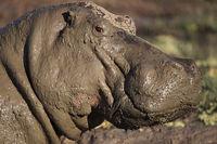 Hippopotamus, Flusspferd, Porträt, Querformat