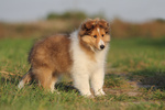 American Shetland Sheepdog