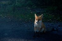 Junger Fuchs am Straßenrand