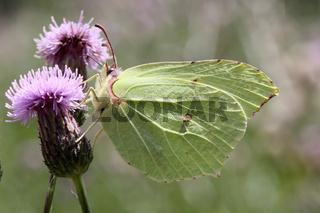 Zitronenfalter, Gonepteryx rhamni, Common Brimstone