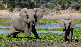 Elefanten im Lower Zambezi Nationalpark, Sambia; Loxodonta africana; elephants at Lower Zambezi National Park, Zambia