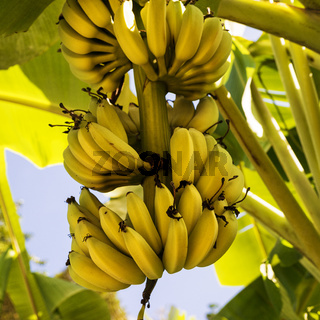 A bunch of bananas on the tree. Square composition.
