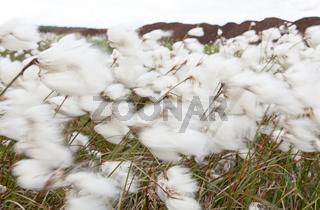 Wollgras im Wind / Eriophorum angustifolium