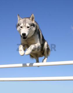 jumping husky