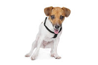 Jack Russel Terrier