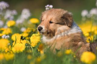 Collie Welpe zwischen Löwenzahnblüten