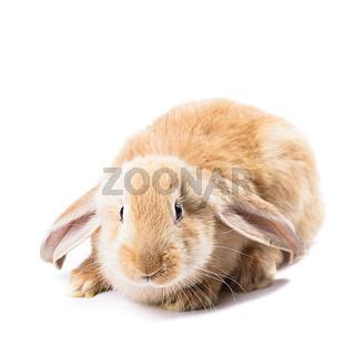 Cute red rabbit