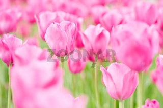 Viele Tulpen im Frühling auf Feld