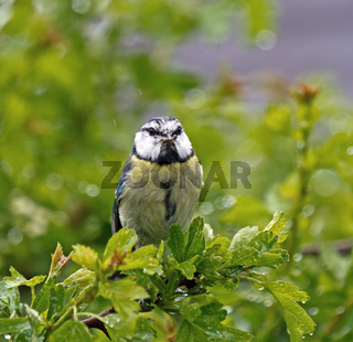 Small garden bird adult BlueTit in rain with Food for young