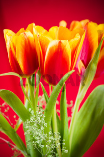 Bouquet of yellow-red tulips on a red background