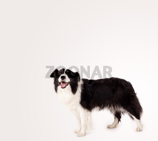 Cute border collie with copy space