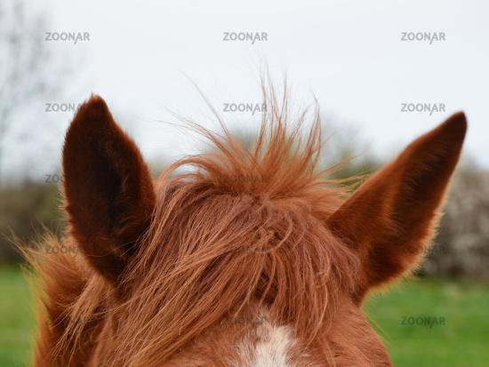Pferdeohren
