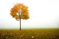lonely autumn tree and fog