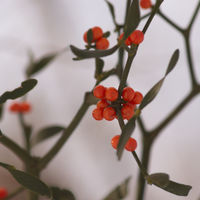 Branch mistletoe with berries in the winter