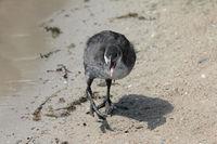 Blaesshuhnkueken, Eurasian Coot chick, (Fulica atra)
