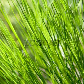 Beautiful fresh and juicy green grass