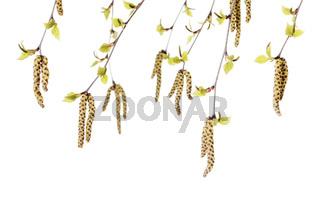 Birch Flowers