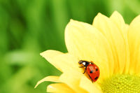 ladybug on yellow flower grass on background