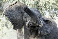 Afrikanischer Elefant attackiert, drohend