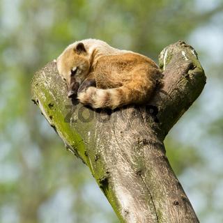 Sleeping coatimundi