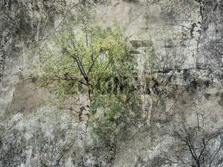 Birken auf Steinputz