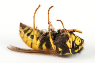Nahaufnahme einer toten Wespe vor einem weißen Hintergrund