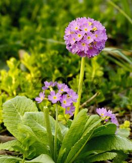Lauch - Allium