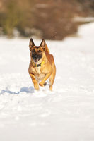 Malinois laufend