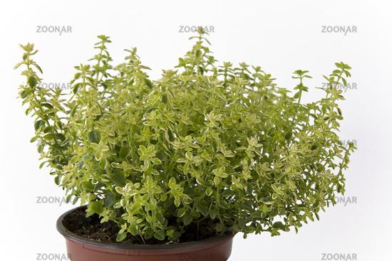 Zitronenthymian - thymus citriodorus