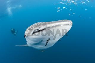 Walhai und Taucher
