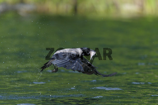 Nebelkrähe, Corvus corone cornix, Hooded crow