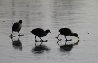Blaesshuehner im Winter auf Futtersuche, Eurasian Coots in winter searching food, (Fulica atra)