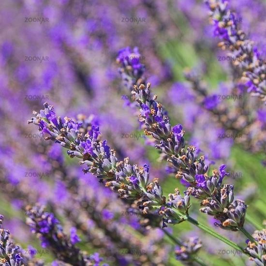 Lavendel - lavender 76