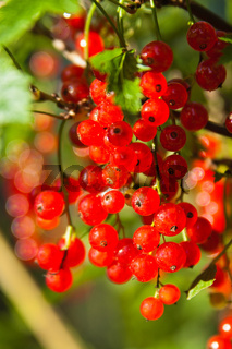 illuminated by sunlight redcurrant berries