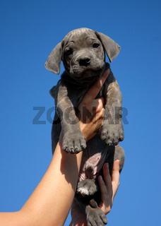 little puppy cane corso