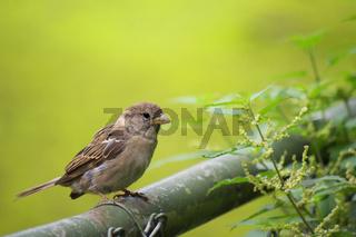 Kleiner Sperling