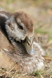 Nilgansküken, Egyptian Goose, Alopochen aegyptiacus