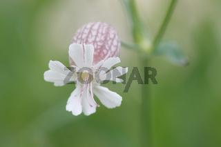 Taubenkropf-Leimkraut - Silene vulgaris