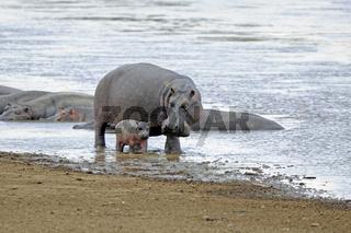 Flusspferd, Nilpferd (Hippopotamus amphibius) und neugeborenes J