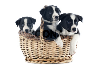puppies border collies