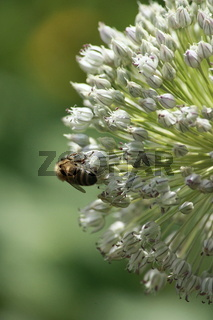 Biene an strahlenförmiger Lauchblüte