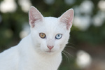Hauskatze, Portaet, Kykladen, cat, odd-eyed white, portrait, Cyclades