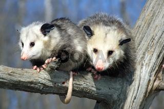 Opossum and baby (Didelphis marsupialis)