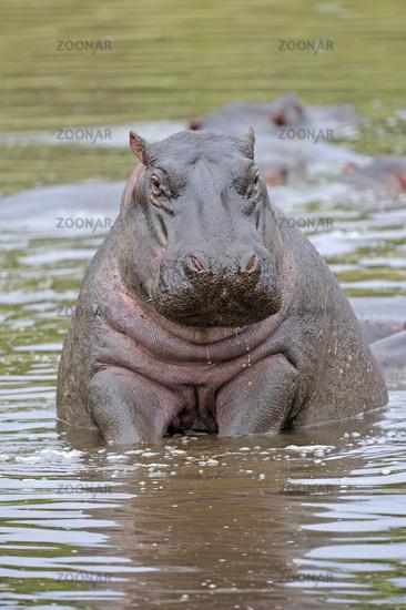 Flusspferd, Nilpferd (Hippopotamus amphibius) im Wasser, Masai M