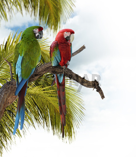 Colorful  Macaw Parrots