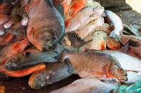 fresh piranha at a fish market