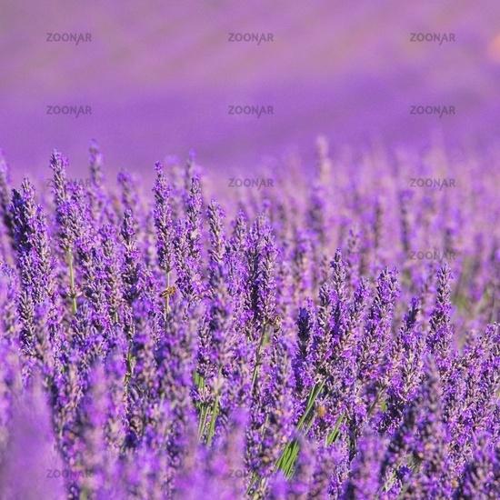 Lavendelfeld - lavender field 14